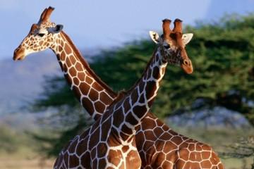 长颈鹿如何巧妙地解决高血压危机